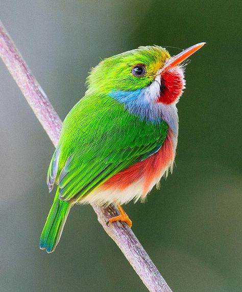 Cuban Tody - this has to be one of the cutest birds on earth.