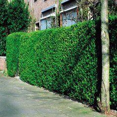 Liguster Hecke - 10 heckenpflanzen günstig online kaufen, bestellen Sie schnell und bequem online