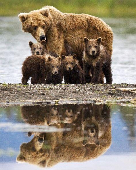 Coastal Brown Bear sow with unusual 4 spring cubs captured in Katmai National Park, Alaska. -