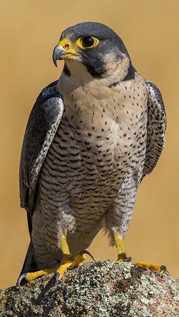 Halcón Peregrino Peregrine Falcon Wanderfalke Peregrinus Faucon Pèlerin Animals Beautiful Peregrine Falcon Pet Birds