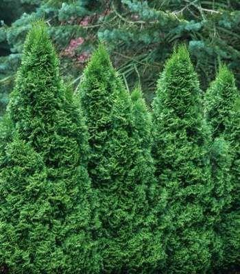 Emerald Green Arborvitae Trees In 2020 Emerald Green Arborvitae Arborvitae Tree Arborvitae