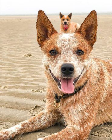 Uncertain About The Red Heeler Here S What You Need To Know Blue Heeler Names 200 Brilliant Ideas For Australian In 2020 Heeler Puppies Red Heeler Puppies Red Heeler