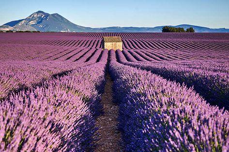 En Provence Sur Les Routes De La Lavande Lavande Provence Et