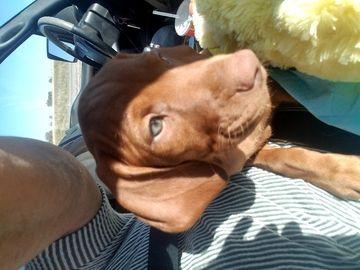 Litter Of 7 Vizsla Puppies For Sale In Hale Center Tx Adn 66759 On Puppyfinder Com Gender Male Age Under 1 W Vizsla Vizsla Puppies For Sale Vizsla Puppies