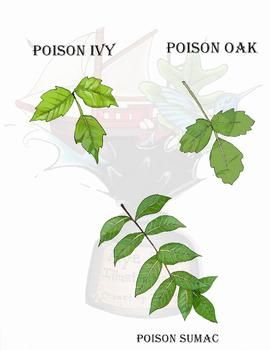 This Product Includes Clipart Of Three Common Poisonous Plants Poison Ivy Poison Oak And Poison Sumac In Full Color Vers Poisonous Plants Ivy Plants Botany,Crib Tents Safe