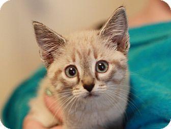Danbury Ct Siamese Meet Mirabella A Kitten For Adoption Kitten Adoption Pets Pet Adoption