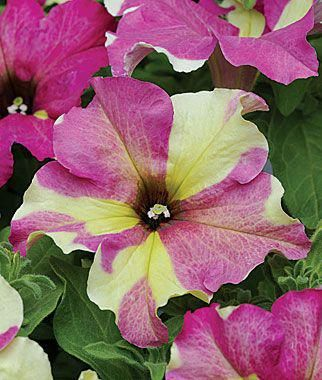 Petunia Fancy Dress No Two Flowers Are Exactly The Same On This Variety Does Well In Beds Or Containers Petunias Flower Seeds Annual Flowers