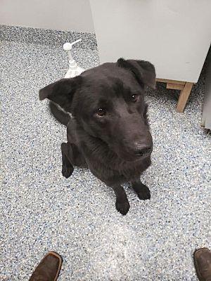 Angola In Labrador Retriever Meet Wil A Dog For Adoption Dog Adoption Labrador Retriever Pet Adoption