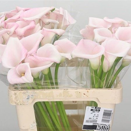P Calla Lily Sweet Art Zantedeschia Is A Pale Pink Arum Type Lily It Is Approx 60cm Tall Very Popular Fo In 2020 Florist Supplies Pink Calla Lilies Calla Lily