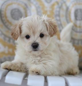 Maltipoo Html Maltepoo Puppies For Sale Iowa Maltese Poodle
