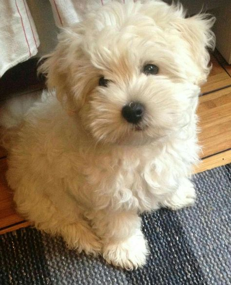 Things we adore about the Funny Havanese Pup #havanesepuppy #havanesepuppy #havanesetraining