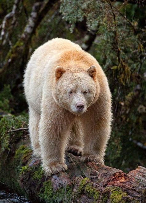 #subspecies #population #americanus #rainforest #recessive #beautiful #columbia #american #kermode #variant #kermode #pacific #british #kermode #spiritSpirit Bear or Kermode Bear - Ursus Americanus Kermode ~ A subspecies of the American Black Bear. 1/10th of their population has white color variant owing to a unique recessive trait. Kermode Bears are not albino, and they are not Polar Bear. The rare and beautiful Spirit Bears live only in the lush rainforest on the Pacific Coast of the...