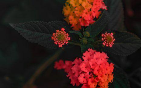 Verbenaceae Pink And Orange Flowers Lantana Lantana Camara Flowers