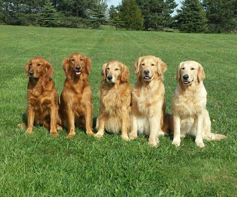 All The Colors Of The Golden Retriever Golden Retriever