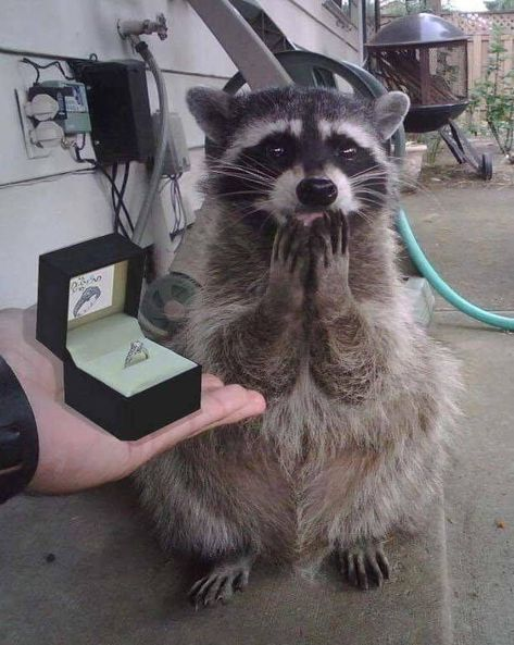 49 Animal Memes Because Animals Are Funny -… Cute Raccoon, Racoon, Baby Raccoon, Cute Little Animals, Cute Funny Animals, Funny Animal Memes, Funny Animal Pictures, Funny Cats, Tier Fotos