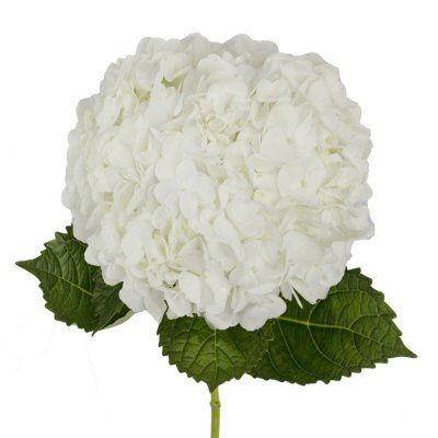 Pin By Kim Hoover On Flowers In 2020 White Hydrangea Hydrangeas For Sale Bulk Wedding Flowers