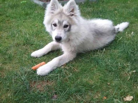 Weisser Schaferhund Langhaar Husky Mix Weisser Schaferhund Hunde Schaferhunde
