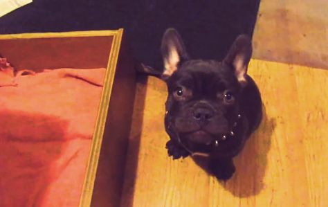 This Frenchbulldog Puppy Doesn T Want To Go To Bed This