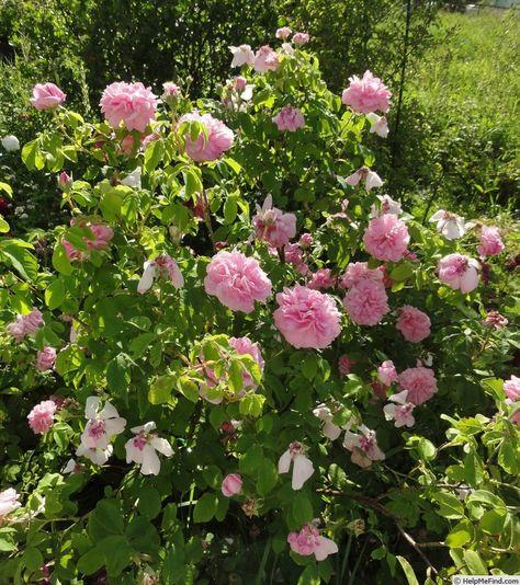 'Ispahan ' Rose Photo