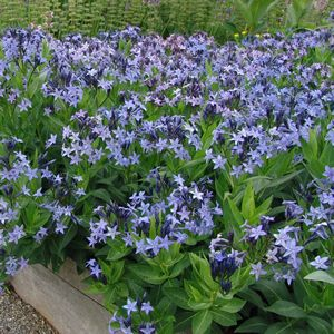 Amsonia Blue Ice Blue Star Apocynaceae The Dogbane Family
