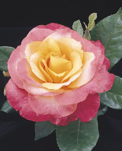 Heart O' Gold - yellow blend, 35-40 petals, 1999, rated 7.6 (good) by ARS.