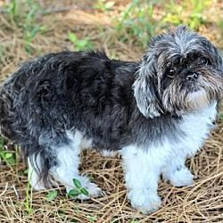 Hagerstown Md Shih Tzu Meet Zippity A Dog For Adoption