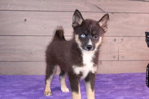 Hello There Friend Lexie Is A Beautiful Pomsky With Those Gorgeous Blue Eyes She Is A First Generation And Has The Nice Puppy Finder Puppies Puppies For Sale