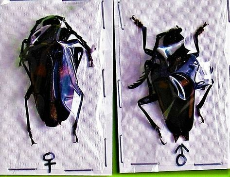 Rare Asian Long-horn Beetle Anoplophora zonatrix Pair Large FAST FROM USA