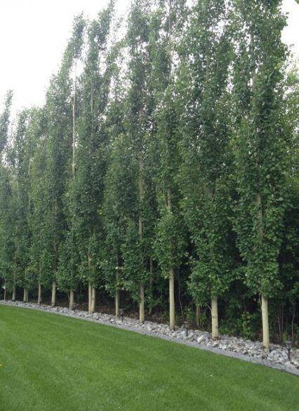 Best Backyard Trees Shade Fence Ideas Backyard Fence Ideas Shade Trees In 2020 Privacy Landscaping Backyard Backyard Trees Privacy Landscaping