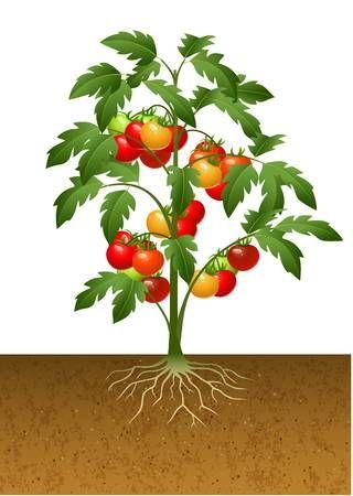 Ilustracion Del Vector De La Planta De Tomate Con Las Raices Bajo Tierra Plantas De Tomate Plantas Cultivo De Plantas