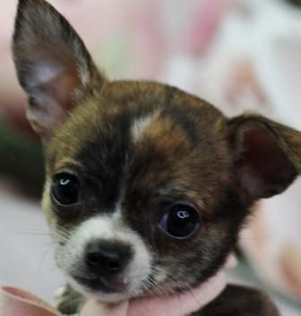 Top Quality Chihuahua Pomeranian Puppies Breeder In United