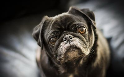 Download Wallpapers Pug Black Dog Black Puppy Small Dog Pets