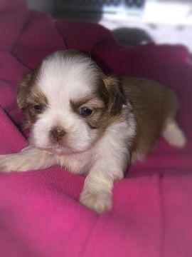 Shih Tzu Puppy For Sale In Chillicothe Oh Adn 58329 On