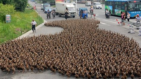 A Group Of Ducks Is Called A Race A Badelynge A Bunch Or A Flock Males Are Called Drakes Females Are Called Ducks These Are Khaki C Duck Pictures Animals