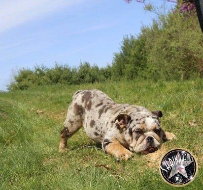 Blue Merle Bulldog Stud Shrinkabulls Buldog Bulldog Puppies