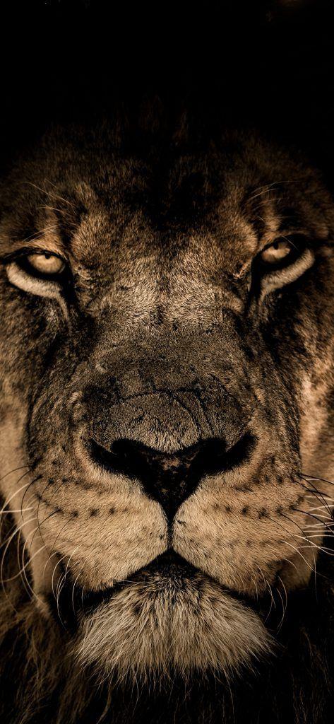 Iphone X Wallpaper Screensaver Background 029 Lion Ultra Hd