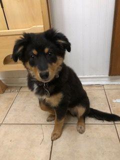 Black Shepherd Black Lab Mix Mix Puppy For Sale In Chesapeake Va Adn 69321 On Puppyfinder Com Gender Female Age 15 Weeks Old Puppies For Sale German
