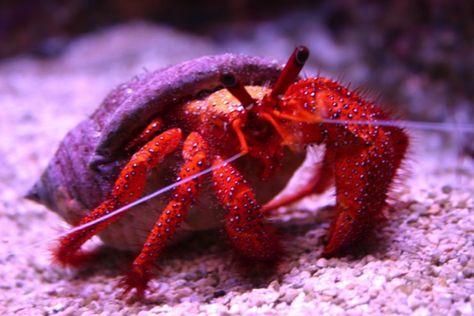 Scarlet Hermit Crab Hermit Crab Crab Reef Tank