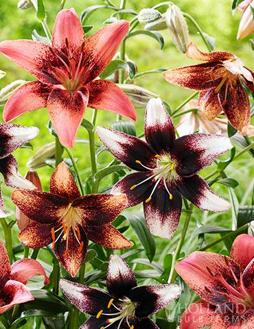 Bi Color Asiatic Lily Blend With Images Planting Bulbs Fall
