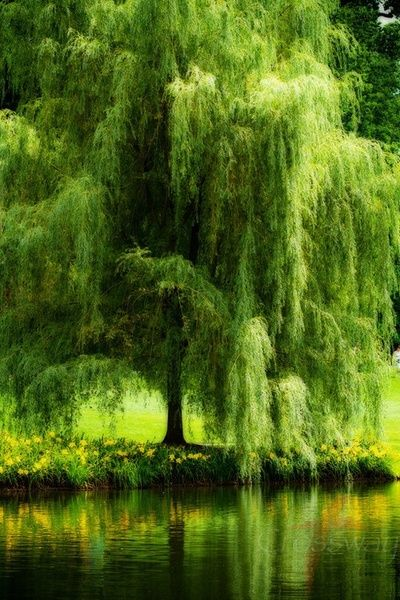 Willow Trees are mesmerizing to me. The slightest breeze gently sways the branches to and fro. From a distance, the boughs look as though they are made of feathers.