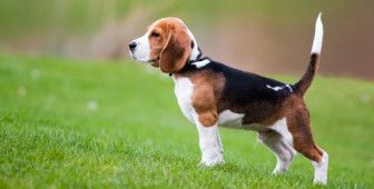 20 Dogs That Can Be Left Alone Puppy Obedience Training Dog