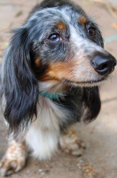 Dachshund Dog For Adoption In Yukon Oklahoma Long Hair