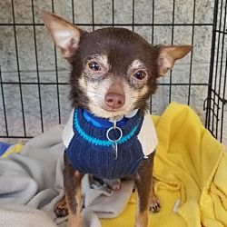 Mount Pleasant Sc Chihuahua Meet Cupid A Pet For Adoption