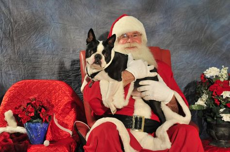 Merlin The Boston Terrier Dog With Santa Claus Merlin Is From Braintree Massachusetts United States H Boston Terrier Boston Terrier Love Boston Terrier Dog