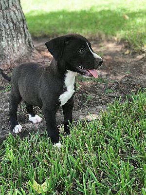 New York Ny Labrador Retriever Meet Forrest A Dog For Adoption
