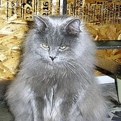 Pin On Adopt Cats Urgent Or Foster