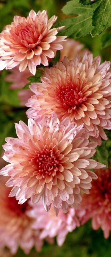 Garden Mums Chrysanthemum Morifolium In 2020 Mums Flowers Chrysanthemum Flower Flower Garden