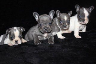 French Bulldog Puppies For Sale Rancho Cucamonga Ca French