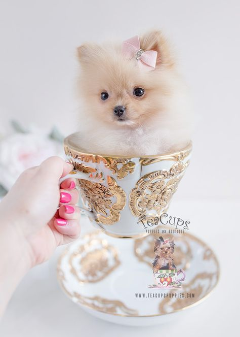 Tiny Teacup Pomeranian puppies available in our store.Your Micro Teacup Pomeranian puppy is conveniently small and cute. Find your tiny Pomeranian ur boutique. Teacup Pomeranian Puppy, Spitz Pomeranian, Teacup Puppies For Sale, Tiny Puppies, Cute Dogs And Puppies, I Love Dogs, Pomeranians, Teacup Dogs, Husky Puppy