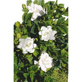 2 5 Quart White Radicans Dwarf Gardenia Flowering Shrub In Pot